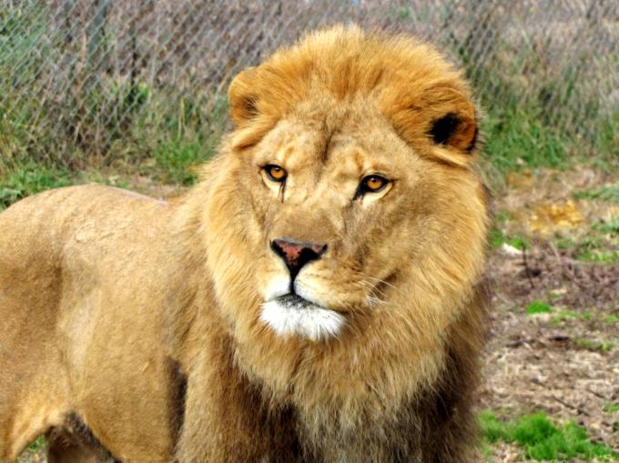 Lionweb2.jpg