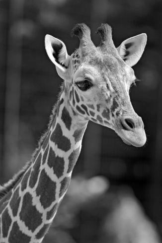 giraffeeBW copy