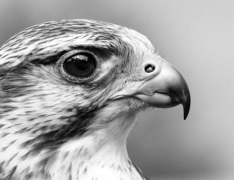 """Der Sakerfalke """"Nobody"""" Man kann deutlich das Nasenkorn erkennen. Dieses ermöglicht dem Falken auch bei Geschwindigkeiten von bis zu 350 km/h zu atmen, ohne dass seine Lunge aufgebläht wird oder gar platzt. Ebenso ist der Falkenzahn, die Verlängerung des Oberschnabels sehr gut zu erkennen, mit der der Falke noch lebende Beute nach dem Angriff töten (abnicken) kann."""